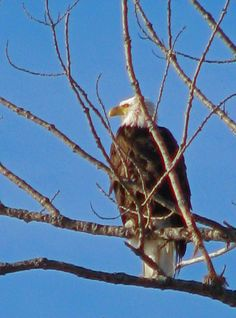 An eagle in Traverse City, Michigan.