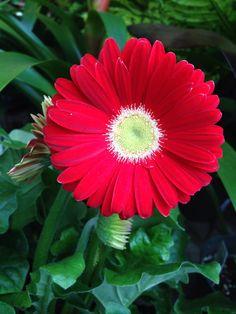 Bulb Flowers, Red Flowers, Beautiful Flowers, Gerber Daisies, Flower Wallpaper, Plant Care, Garden Projects, Beautiful Gardens, Perennials