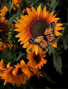 Monarch Butterfly on a Sunflower butterfly wallpaper butterfly doodle Sunflower Iphone Wallpaper, Orange Wallpaper, Butterfly Wallpaper, Sunflower Pictures, Butterfly Pictures, Sunflower Art, Cherry Blossom Watercolor, Watercolor Flowers, Beautiful Butterflies