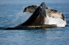 Awesome Whale Watching in BC with My Destination British Columbia Capital Of Canada, Whale Watching, Outdoor Recreation, Rafting, British Columbia, Climbing, Vancouver, Skiing, Places To Go