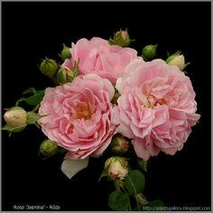rosa-jasmina-