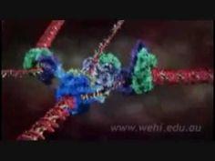 Replicación del ADN. Estupendo vídeo que describe bien las diferentes etapas del proceso de replicación. Pertenece a una premiada serie divulgativa realizada porThe Walter and Eliza Hall Institute of Medical Research