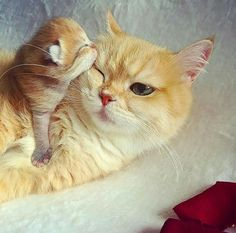 #yellow #mother #cat #cute #Kiss #kitten #baby
