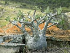 CAUDICIFORM Pachypodium gracilius
