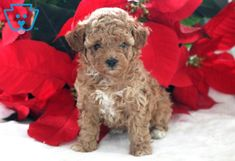 This Toy Poodle puppy is smart, sassy and social as can be. She is a real fire cracker who will be sure to keep you on your toes! This happy puppy will be Cute Puppies For Sale, Cute Baby Puppies, Cute Babies, Poodle Puppies For Sale, Real Fire, Happy Puppy, Firecracker, Design Development, Cute Animals