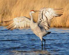 Sandhill crane dance