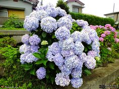 Hydrangea macrophylla is a species of flowering plant in the family Hydrangeaceae, native to Japan... http://www.ArakakI.Click #Spermatophyta #Hydrangea #Macrophylla #紫陽花 #アジサイ