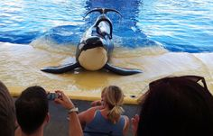 END THE KILLER WHALE CIRCUS  - these are intelligent ocean predators that have been forced into unnatural lives of performing for humans.   freetillynow.org
