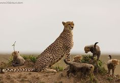 A Cheetah Mother Staying Close to Her Four Small Cubs.