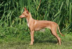Прелестные породы собак, о которых Вы может быть не слышали - В мире животных