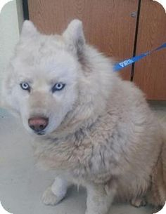 6/6/15 Watsonville, CA - Samoyed/Siberian Husky Mix. Meet SUZIE*, a dog for adoption. http://www.adoptapet.com/pet/13100457-watsonville-california-samoyed-mix