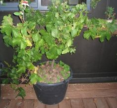 Container Grown Grapes: Tips For Planting Grapevines In Pots - If you don't have the space for a traditional garden, containers are a great alternative. And grapes, believe it or not, handle container life very well. Learn more about how to grow grapes in a container by clicking this article.
