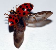 Slow-Mo Video of a Ladybug Unfolding Its Hidden Wings and Taking Off - Core77