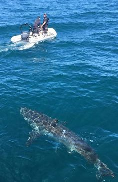 Great white shark shadows police boat on patrol off South Australian coast Shark Attack Pictures, Shark Pictures, Shark Photos, Water Pictures, Orcas, Monster Shark, Shark Attacks, Shark Bait, Animal Tracks