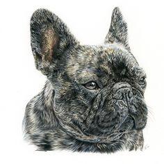 Bulldog Francés. Ilustración lápiz. Illustration pencil