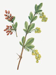BERBERITZE - ABRILLA - BARBERRY (Berberis vulgaris) Die Berberitze ist eine Heil- und Giftpflanze. Die Hauptwirkstoffe sind Berberin (ein Isochinolin-Alkaloid) und Berbamin (ein Bisbenzylisochinolin), die in allen Pflanzenteilen, bis auf ihre Früchte und Samen, enthalten sind. Sie können bei Verzehr, beispielsweise durch Essen der Rinde, eine leichte Vergiftung hervorrufen. Hohe Dosen können nach starker Atemnot und unter Krämpfen prinzipiell zum tödlichen Atemstillstand führen.