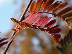 mountain ash leaves