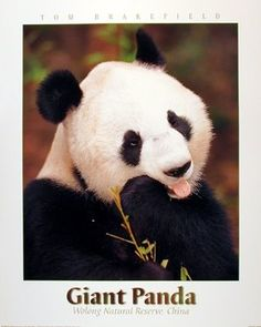 Simply Suburb! This Giant Panda Bear wall poster will add a distinctive touch to your room and will transform your walls from ordinary to radiant. This poster captures the image of a Giant Panda Bear eating a bamboo leaves looking so adorable and attractive that makes you feel to buy this poster which is sure to make your walls focal point of your home. This poster is a perfect gift for someone who is a nature lover.