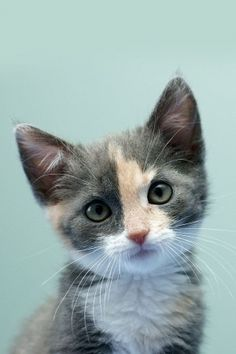Diluted Calico short-haired kitten. The typical dark black and bright orange of the Calico present as grey and muted beigy- orange...and just as cute!