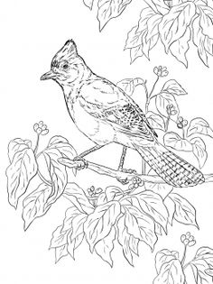 Realistic Stellers Jay Coloring Page From Category Select 30450 Printable Crafts Of Cartoons Nature Animals Bible And Many More