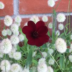 choc cosmos and bunny's tails grass works well