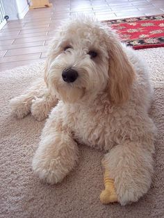 16 New Goldendoodle Haircut Guide Pictures - meowlogy Goldendoodle Haircuts, Goldendoodle Grooming, Cockapoo, Cute Puppies, Cute Dogs, Dogs And Puppies, Doggies, Golden Doodle Dog, Cutest Animals