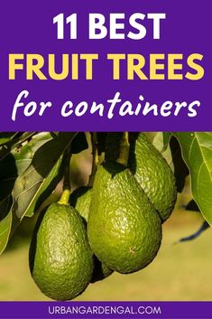 Growing fruit trees in containers is easy to do and it s a great way to grow your own fruit at home Here are 11 of the best fruit trees for pots containergarden fruittrees gardening containergardening Potted Fruit Trees, Fruit Trees In Containers, Fruit Tree Garden, Dwarf Fruit Trees, Growing Fruit Trees, Citrus Trees, Fruit Plants, Growing Tree, Garden Trees