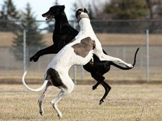 Joyful greyhounds! Sage and Annie Snavely