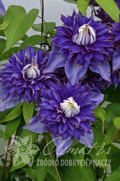 'Multi Blue' store vakre blå-lilla kronblader. • Klatrepante, må bindes opp •…