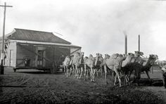 A Camel train transporting a house in Kalgoorlie, Western Australia