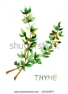 Thyme, watercolor illustration - stock photo