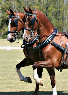 Dutch Harness Horses, or Tuigpaard. photo: Amanda Bassett.