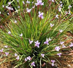 Detailed description of the Native Iris (Patersonia occidentalis) 'Little Pat' cultivar/variety. Plants, Garden Trees, Australian Native Plants, Cottage Garden Plants, Australian Plants, Native Garden, Australian Wildflowers, Garden Shrubs, Native Plants