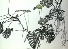 Sam Szafran - Study of Philodendron