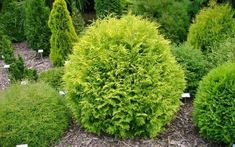 This American arborvitae cultivar is a dwarf, dense, evergreen shrub with a rounded, globular form featuring sprays of outstanding soft, yellow foliage.