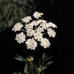 "Dubbed ""the most violently toxic plant that grows in North America"" by the USDA, water hemlock (cicuta maculata) can strike you dead within 15 minutes of ingestion. The poison cicutoxin attacks the central nervous system, causing severe seizures and convulsions that turn deadly as a result of asphyxia and cardiovascular collapse. 