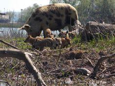 Partizani, Delta Dunării Danube Delta, Animals, Animaux, Animal, Animales, Animais