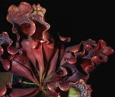 Sarracenia purpurea, or Sweet Pitcher Plant, is an evergreen, perennial pitcher plant native to the Eastern United States.