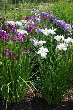 Japanese Iris, Coastal Maine Botanical Gardens.  Photo: sharon_k, via Flickr