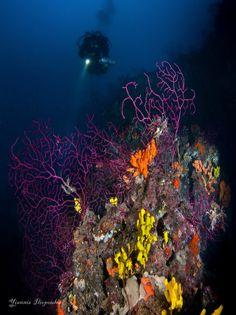 https://flic.kr/p/zmykAy | Paramuricea clavata (purple gorgonian) | Paramuricea clavata (purple gorgonian) Greece depth 51 photo Underwater Photography by Yiannis Iliopoulos