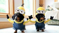 Wiener Dog Minions Are The Cutest Minions On Four Legs Crusoe the Celebrity Dachshund and his friend Best Dog Costumes, Minion Costumes, Dog Halloween Costumes, Pet Costumes, Halloween 2016, Vintage Halloween, Costume Ideas, Dachshund Funny, Dachshund Love