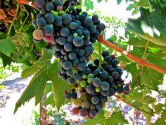 Grignolino:  Ripken Vineyards; Mokelumne River AVA