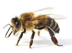 beneficial insects bees
