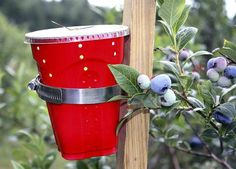New fruit fly might hurt Maine wild-blueberry crop