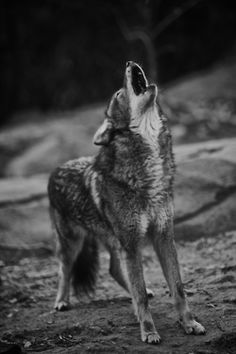 | photography beauty animals Black and White life wolf photo hipster ... Beautiful Wolves, Animals Beautiful, Beautiful Creatures, My Animal, Coyotes, Animals And Pets, Cute Animals, Bad Wolf, Wolf Love