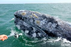 Last week, the dynamic OWOO duo of Greg and Barbara MacGillivray went down to San Ignacio to film gray whales.