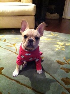 ohhhh how i want a french bull dog ohh so bad!