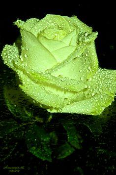 ✿§§R♥Z§§✿⊱╮#GIFS Красивая роза