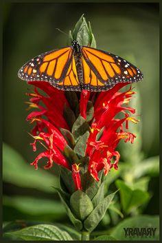 Monarque / Monarch Butterfly / danaus plexippus