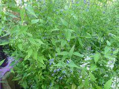 Isodon longitubus 'Noshoko' at St Jean de Beauregard – http://jardinsalanglaise.wordpress.com/2014/10/11/st-jean-de-beauregard-la-fete-des-plantes-dautomne/